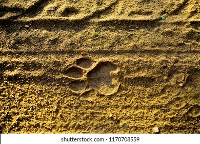 Tiger paw prints on sand