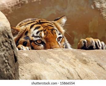 Tiger peeking over ledge
