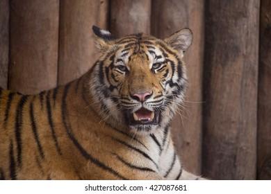 The tiger in Phukhieo wildlife sanctuary, Thailand