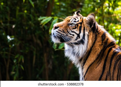 Tiger picking up a scent