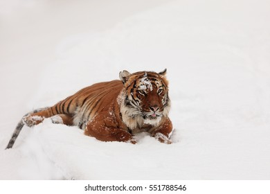 tiger is plying wit snow