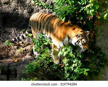 Tiger portrait.