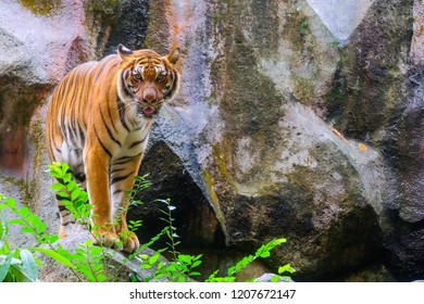 Tiger portrait of a bengal tiger in Thailand