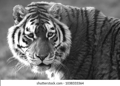 Tiger portrait in black and white