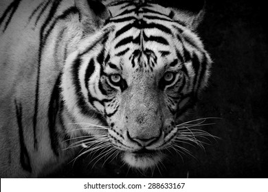 Tiger, portrait of a tiger in black and white