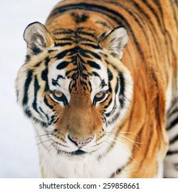 tiger portrait closeup on white