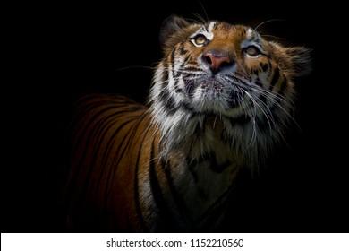 Tiger portrait in front of black background