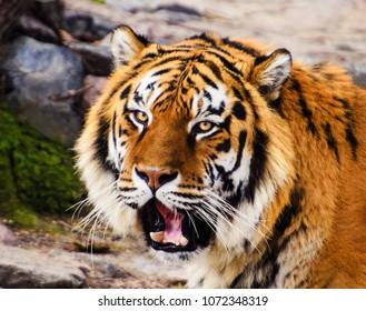 tiger portrait. Tiger head
