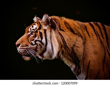 Tiger profile isolated on a black background