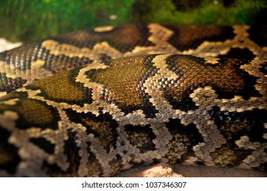 Tiger python behind the terrarium glass