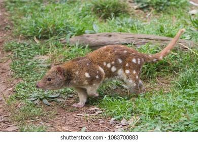 Tiger Quoll Australian Animal