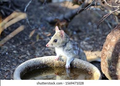 Tiger quoll (Dasyurus maculatus) also called spotted-tail quoll or spotted-tailed Dasyure. Tasmania. Australia
