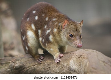 Tiger Quoll or Spotted Quoll