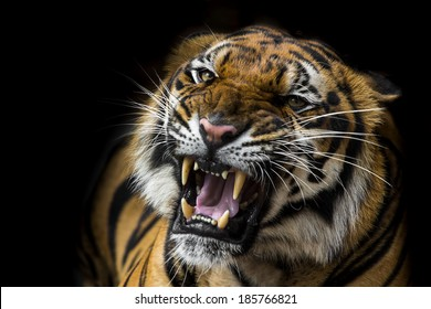 Angry Tiger Images Stock Photos Vectors Shutterstock