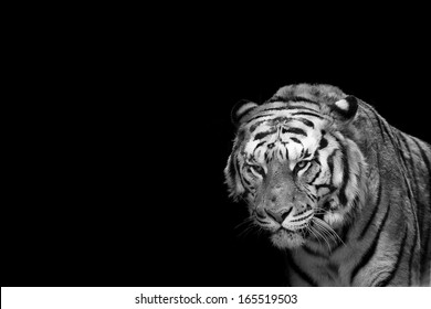 A tiger ready to attack looking at you in black and white