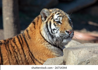 A tiger relaxes in the sun at the Philadelphia Zoo