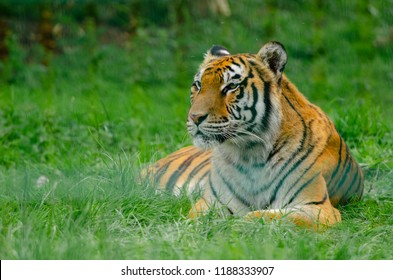 A tiger relaxes in its territory and keeps watch