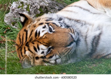 Tiger resting up