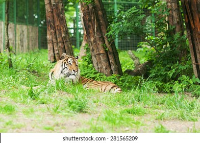 Tiger resting in the green foliage of the zoo