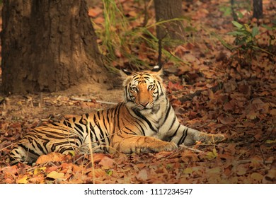 Tiger resting and looking towards camera in National Park.
