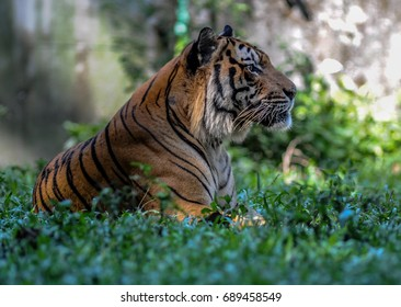 A tiger is resting on the grass
