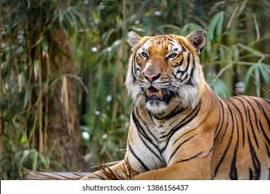 Tiger Resting on a platform