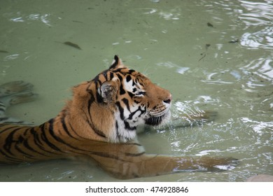 Tiger resting in a pool of water.