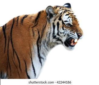 Tiger roaring isolated on the white