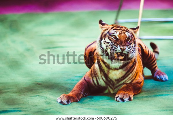 Tiger roars lying on ring in circus