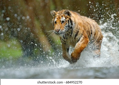 Tiger running in the river. Dangerous animal, taiga in Russia. Animal in the forest stream, splashing water. Wildlife scene with wild cat in nature habitat.