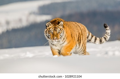 Tiger runs behind the prey. Hunt the prey in tajga in cold winter. Tiger in wild winter nature. Action wildlife scene, danger animal. Snowflake with beautiful Siberian tiger in tajga, Russia.