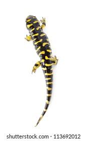 Tiger salamander (ambystoma tigrinum) isolated  on white background.