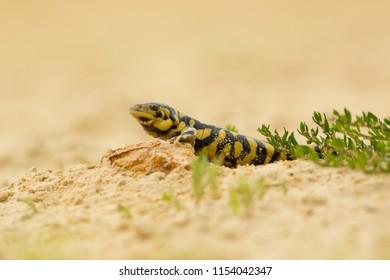 Tiger salamander or eastern tiger salamander (Ambystoma tigrinum) is a North American species of mole salamander