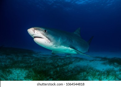 Tiger shark Bahamas