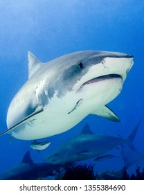 Tiger Shark in the Bahamas