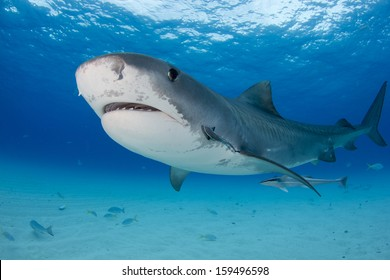 Tiger Shark at Tiger Beach in the Bahamas