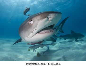 Tiger Shark in Tiger Beach Bahamas