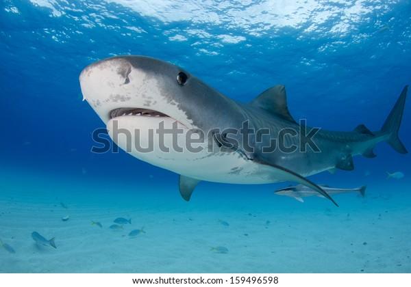 Tiger Shark at Tiger Beach in the Bahamas