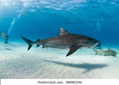 A tiger shark with beautiful markings swimming amongst SCUBA divers and lemon sharks.
