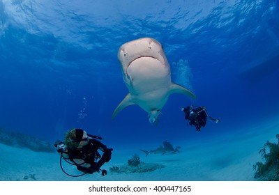Tiger shark from below in clear blue water with scuba diver / photographer and the sun in the background.