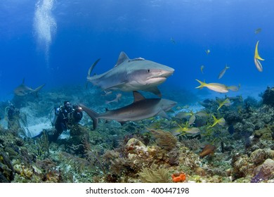 Tiger shark with caribbean reef sharks in clear blue water and videographer / photographer in the background.