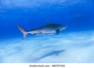 Tiger shark in clear blue water with shadow on the sand.