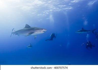 Tiger shark in clear blue water with caribbean reef sharks and scuba divers with sun in the background.