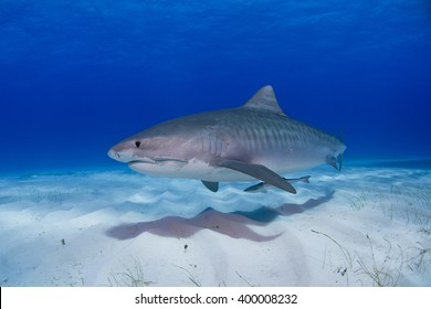 Tiger shark close to the ground in clear blue water and shadow in the sand.