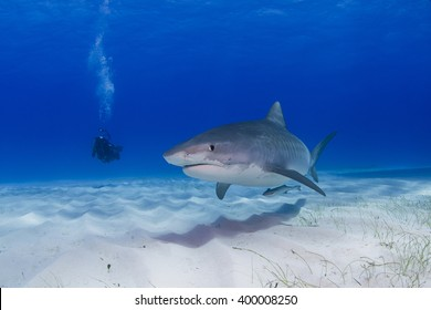 Tiger shark close to the ground in clear blue water with shadow in the sand and scuba diver / videographer / photographer in the background..
