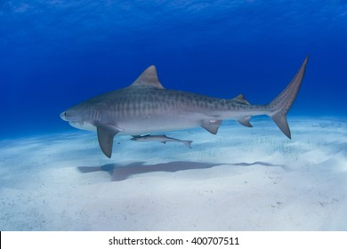 Tiger shark close to the ground in clear blue water with shadow on the sand.