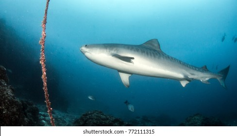 Tiger Shark at Cocos Island
