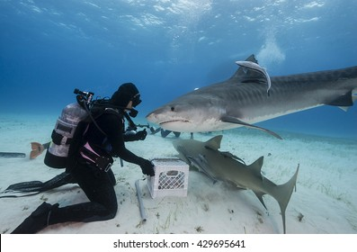 Tiger shark comes in to be fed during a shark feed dive in the Bahamas.