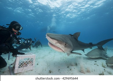 Tiger shark comes in to be fed during a shark feed dive in the Bahamas, with lemon sharks in the background.