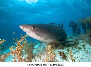 Tiger shark and divers.
